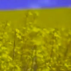 Monsanto – Yield Ready Canola